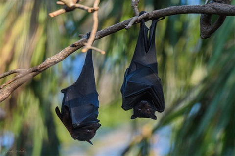 Two-flying-foxes-hanging-in-tree-Judy-Leitch