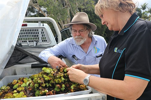 Byron Shire Council staff inspecting weevils